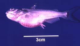 ... channel catfish fingerling. Note swollen stomach and 'pop eye