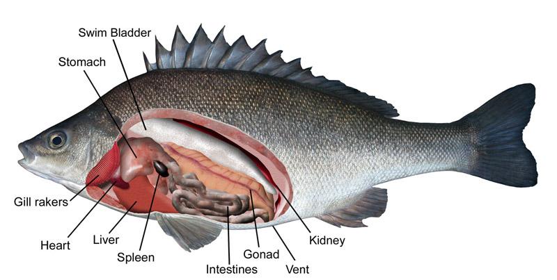 Anatomy of perch